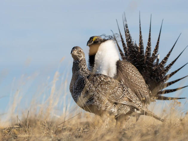 New Federal Report Shows 80-Percent Decline in Greater Sage-Grouse Populations