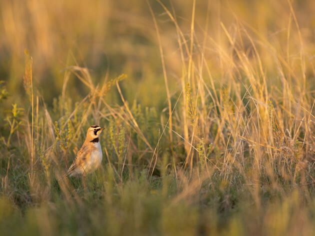 Horned Lark. Evan Barrientos/Audubon Rockies