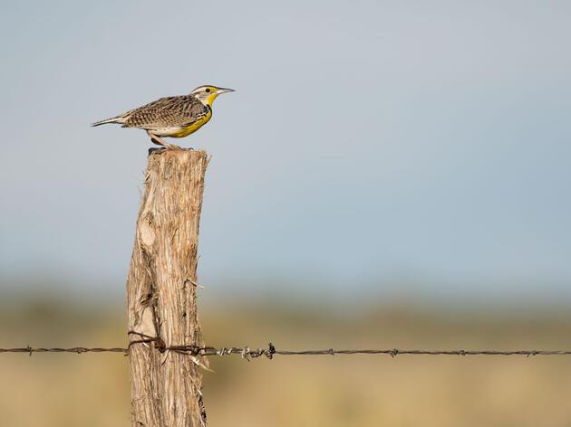 Western Meadowlark. Evan Barrientos/Audubon Rockies