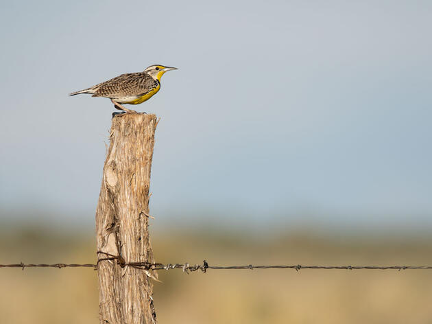 Bird Friendliness Index Shows Audubon Conservation Ranching is Bringing Grassland Birds Back