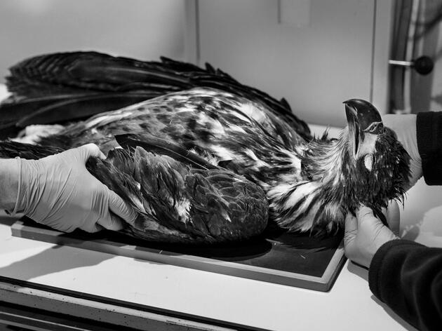 Employees at Raptor Education Group, Inc. examine an immature Bald Eagle exhibiting symptoms characteristic of Wisconsin River eagle syndrome. She died soon after; it isn't yet known if the disease was to blame. Tom Lynn