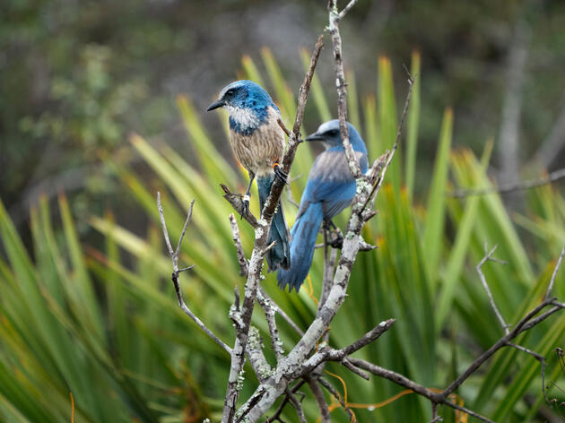 How Researchers Hope to Save the Florida Scrub-Jay From an Inbreeding Crisis