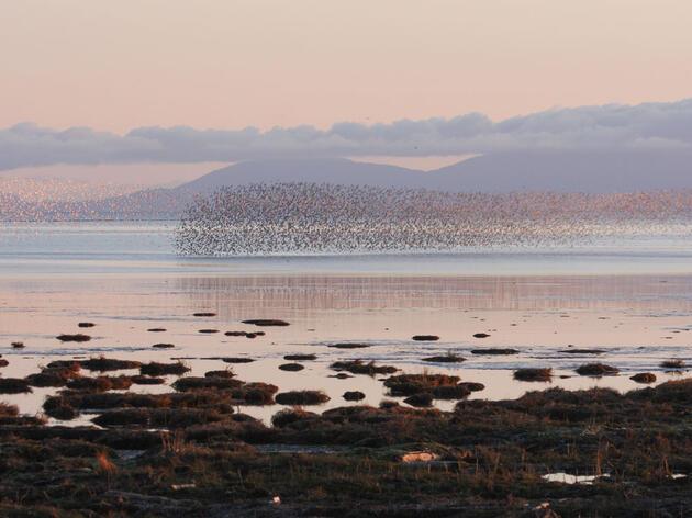 A flock of Dunlin in Washington's Skagit Valley. Sheila Pera