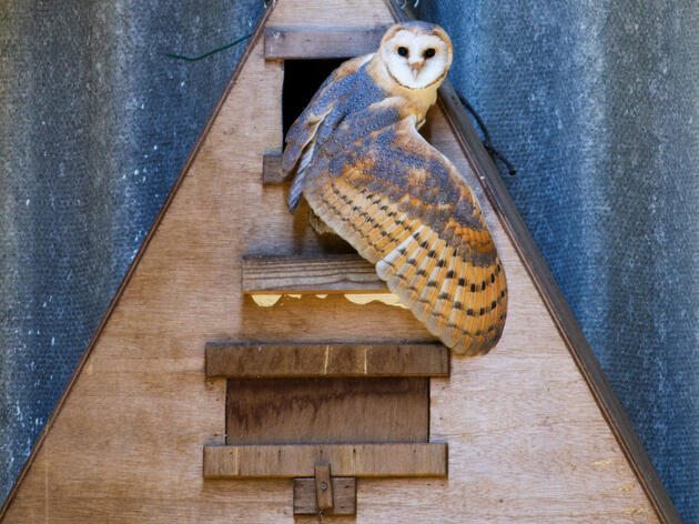 Building nest boxes for Barn Owls might help tamp down deer mice—and also a hantavirus that can jump from mice to people. Lee Dalton/Alamy