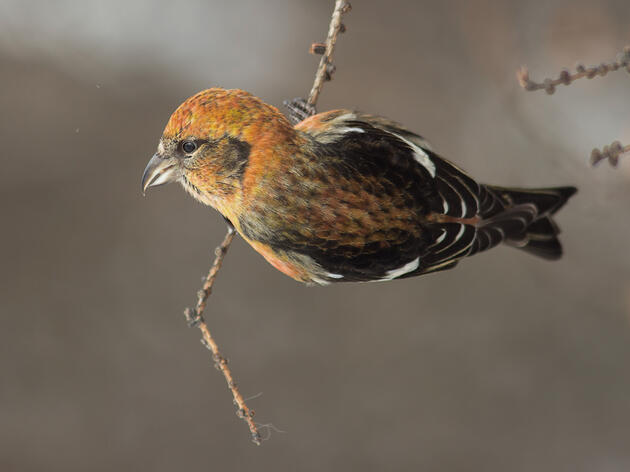 White-winged Crossbill. Silver Leapers/Flickr (CC BY 2.0)