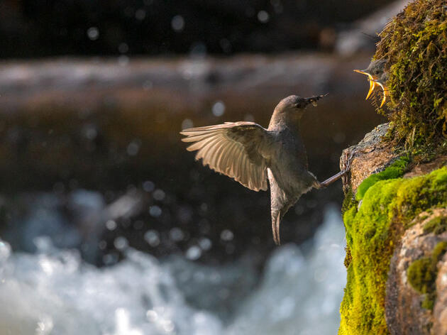 An American Dipper leaps from the rushing water below to feed its' young in Rocky Mountain National Park. Michael Forsberg