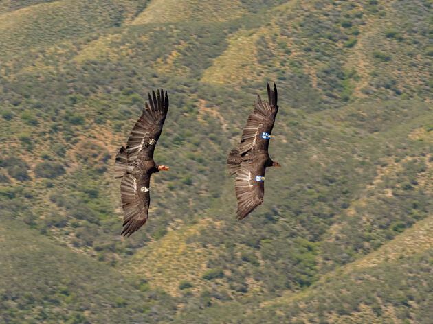 California Condors. Jeff Foott/NPL/Minden