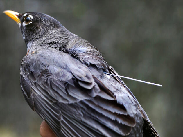 Scientists Are Unraveling the American Robin's Surprisingly Mysterious Migration