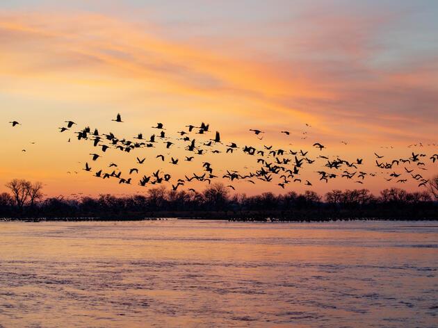 Sandhill Cranes on the Platte River in Nebraska. Mike Fernandez/Audubon