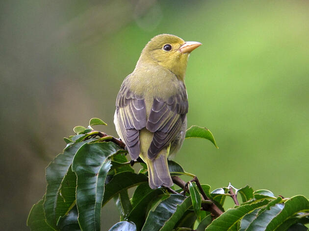 Scarlet Tanager. Felix Uribe/Flickr (CC BY SA 2.0)