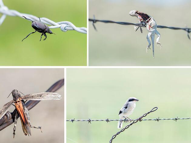 This Stunning Photo Project Showcases the Loggerhead Shrike's Gory Deeds