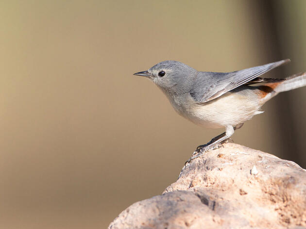 Lucy's Warbler. Tim Boyer/Flickr (CC BY NC 2.0)