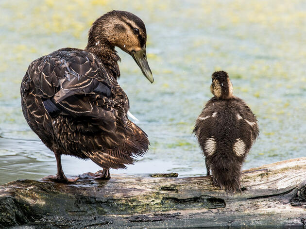 American Black Duck with downy young. JWiliszowski/iStock