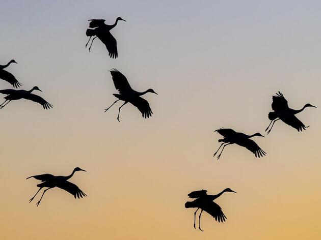 Sandhill Cranes. Krisztina Scheeff/Audubon Photography Awards