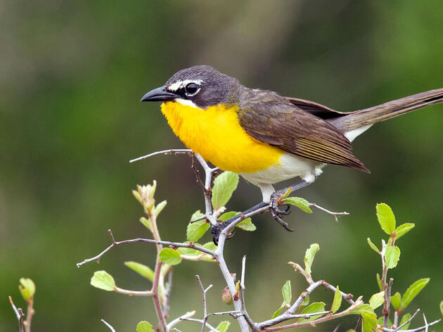 Yellow-breasted Chat. Mick Thompson/Flickr (CC BY NC 2.0)