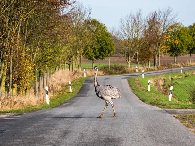 Inside Germany's Giant, Hungry, Flightless-Bird Problem