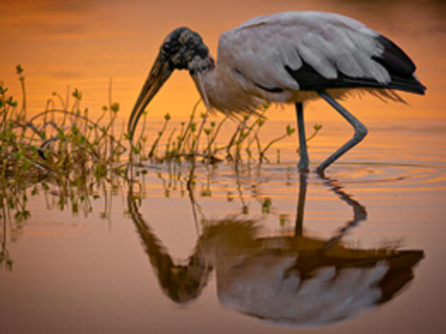 A Wood Stork foraging in shallow water at sunset. Wood Stork. Frederick Wasmer/Audubon Photography Awards