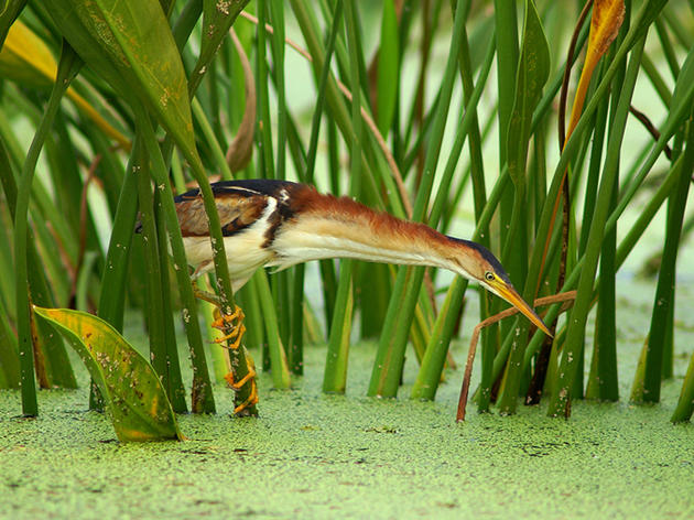 Lunchtime for a Least Bittern