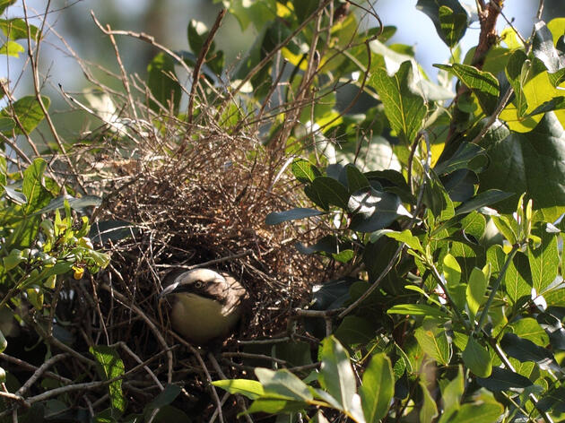 A Grey-crowned Babbler builds its domed nest in a bush. Other babblers build them on the ground, maybe to avoid competition. Brissy Girl Jan