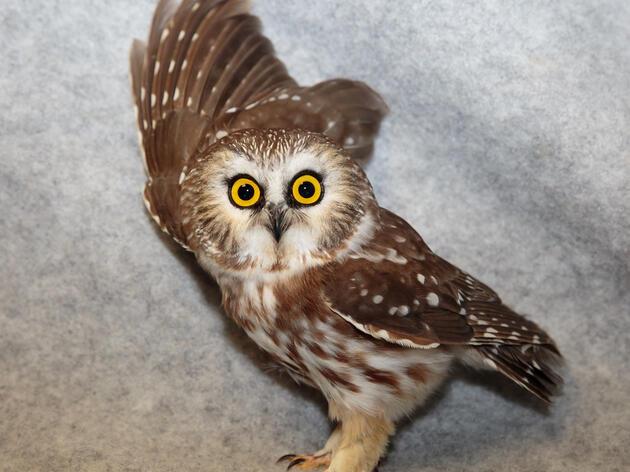 Owls Do Not Enjoy Joy Rides