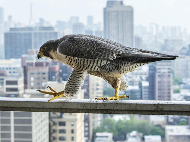 Peregrines—and a Photographer—Bunk Out at Chicago Man's Apartment