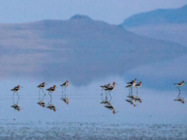 American Avocets. American Avocets in the Great Salt Lake Camilla Cerea/Audubon