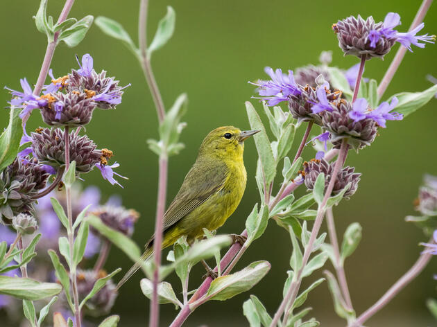 Orange-crowned Warbler. Orange-crowned Warbler Devin Grady/Audubon Photography Awards