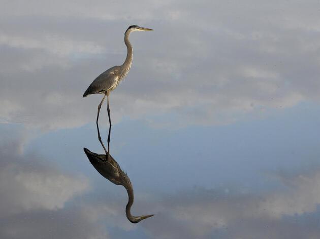 Great Blue Heron. Great Blue Heron. Robert Bakelaar/Audubon Photography Awards