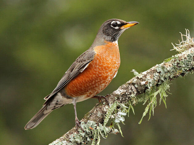 From American Robins to Yellow Warblers, Audubon Members Share Favorite Birds