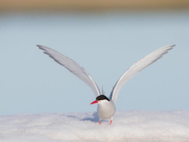 Arctic Tern. Arctic Tern. William Wingfield Jr./Audubon Photography Awards