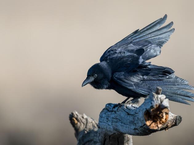 A Sassy Crow Narrates the Zombie Apocalypse in New Novel