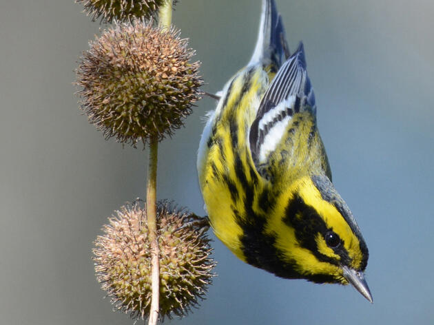 Townsend's Warbler. Townsend's Warbler. Carl Ebeling/Audubon Photography Awards