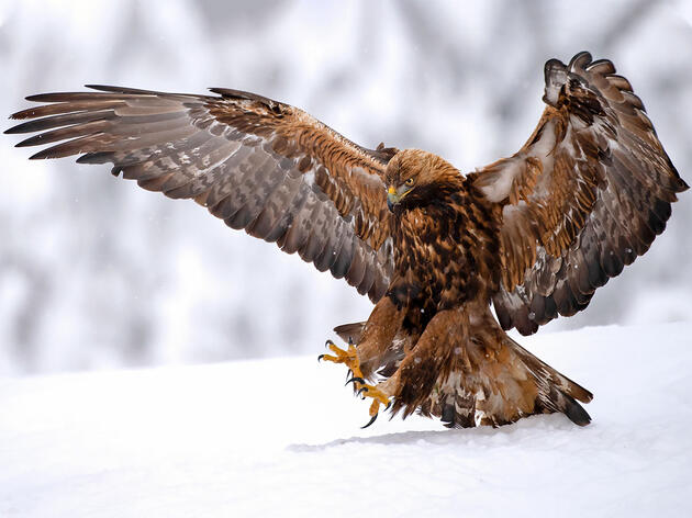 Did Neanderthals Catch and Kill Golden Eagles for Their Feathers and Talons?