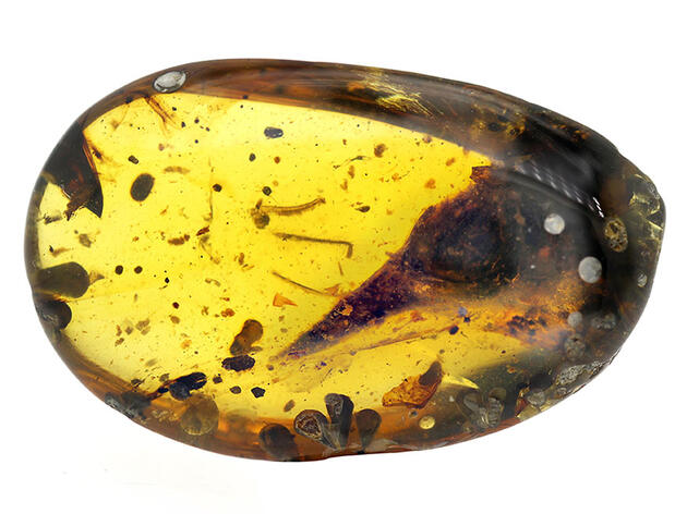Ancient Bird Fossil Smaller than a Hummingbird Discovered in Amber Trove