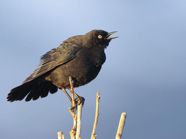 Why You Should Start Searching for Rusty Blackbirds