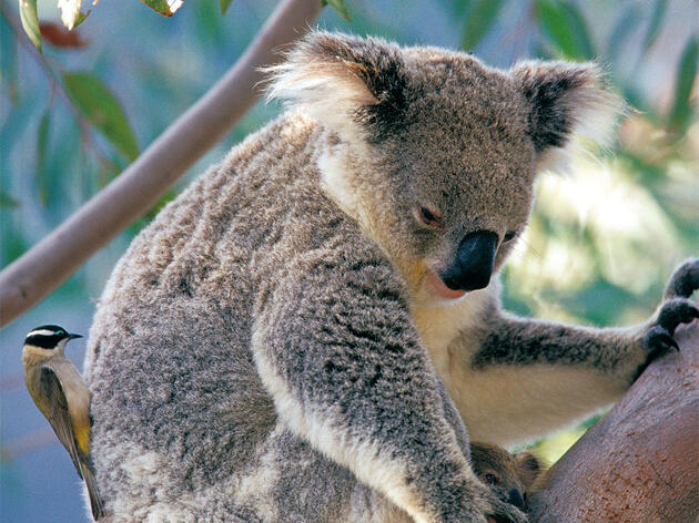 Honeyeaters Steal Fur from Sleeping Koalas for Their Nests