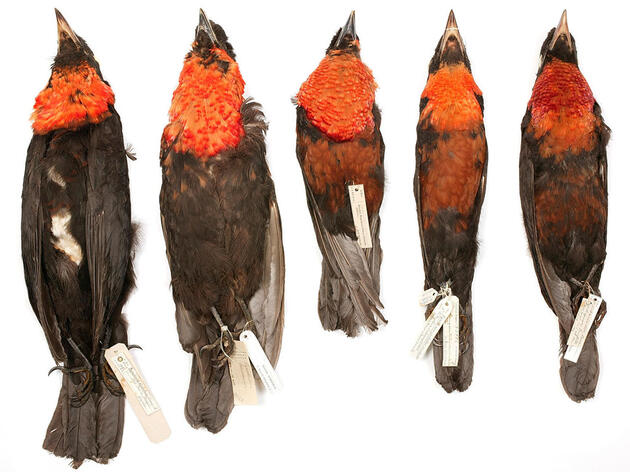 The World's Top Natural History Museums Have a Male Bird Bias