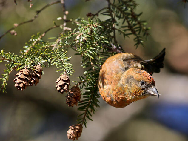 How Crossbills and Other Birds Are Rewriting the Rules of Evolution