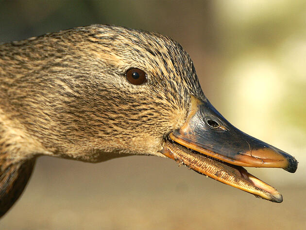 Mallards Are Everywhere, and That's Great for Wetlands