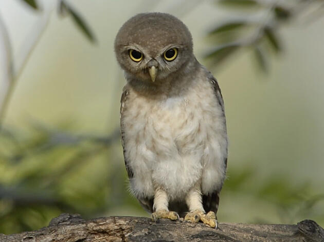 Spotted Owlet. Video: Rathika Ramasamy