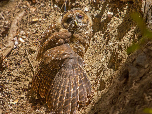Want to Save the Spotted Owl? Stop Trying So Hard