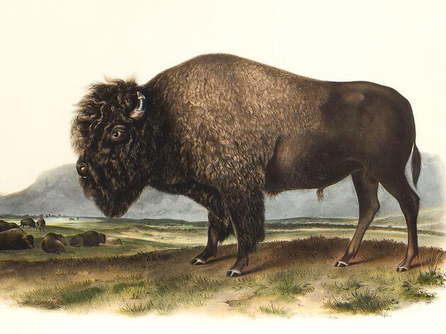 The Bison Joins the Bald Eagle as a Fellow Symbol of America