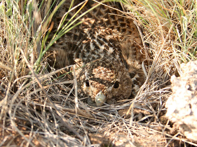 A female Black Lark on the nest in Kazakhstan.. Note the large dung pieces in the foreground that were carried to the nest. Johannes Kamp