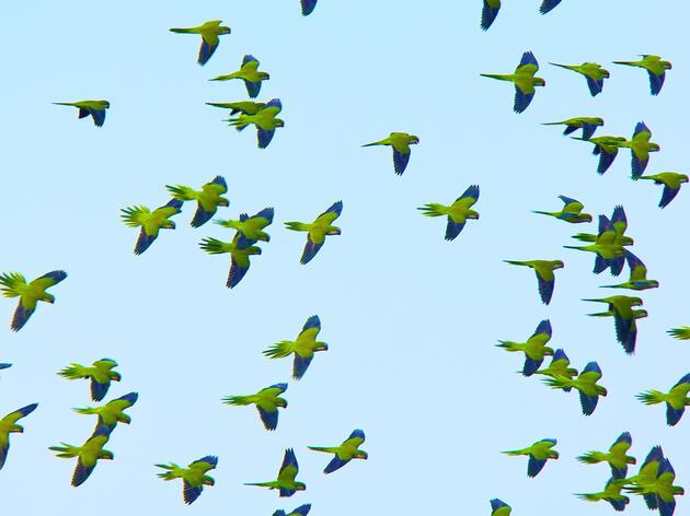 How Monk Parakeets Pick Their Battles