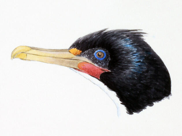 Scientists Solve A Shag-adelic Bird Mystery