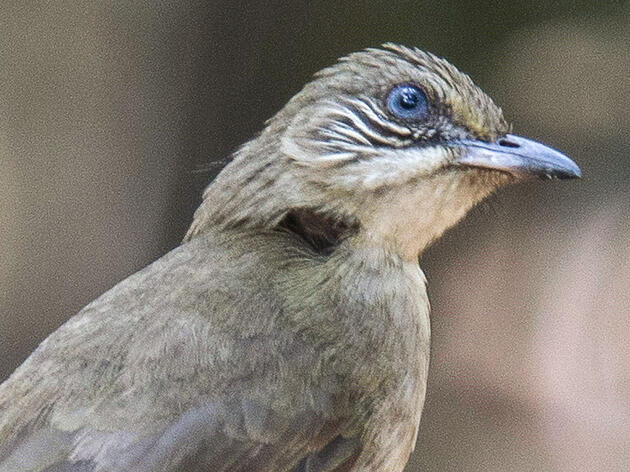 New Bulbul Species Was Hiding in Plain Sight, Scientists Say