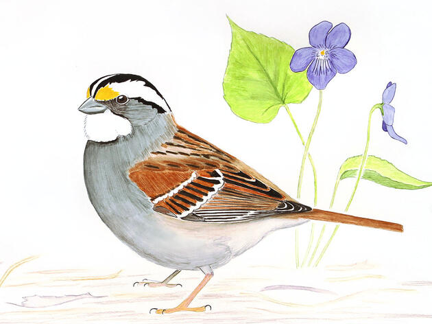 The Fascinating and Complicated Sex Lives of White-throated Sparrows