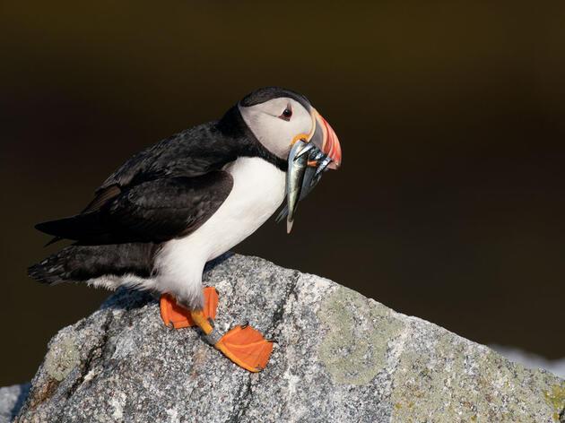 Atlantic Puffin. Walker Golder/Audubon