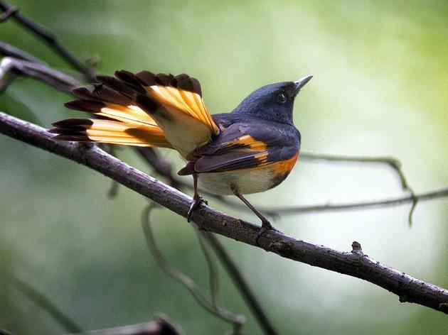 American Redstart. Tom Warren/Audubon Photography Awards
