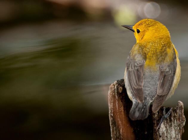 Prothonotary Warbler. Owen Deutsch/Audubon Photography Awards